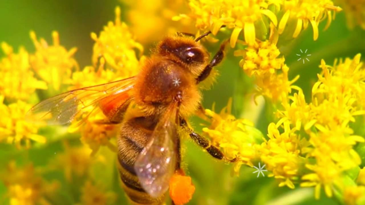 Лечебная сосновая пыльца. Заготовка и обработка на хранение. - YouTube