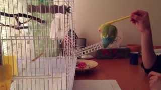 Training lovebird