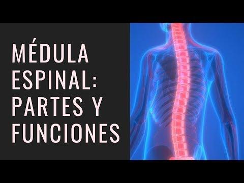 Médula Espinal ¿Cuáles son sus Partes y Funciones?