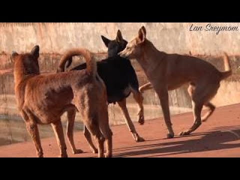 How To Spend Your Time With Dogs - The Village Dogs Playing With Other Groups -HD68