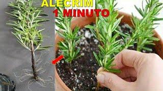 Plante Alecrim Em 1 Minuto Na Sua Casa