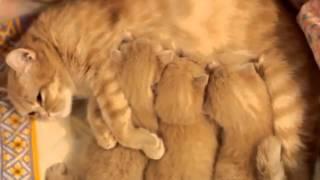 Милые маленькие кошки мурлыкают видео смешные кошки