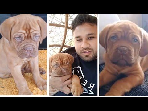 The Dogue de Bordeaux | The French  Mastiffs | Customer Feedback | Pet Care | BholaShola |