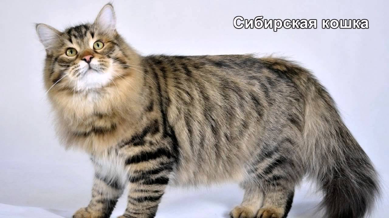 коты самые большие породы