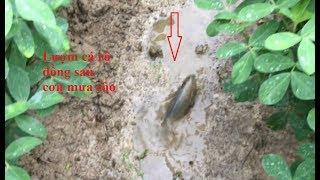 Ra đồng Lượm cá Rô ngược Cơn Mưa rào sấm sét