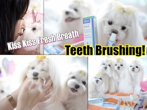 GROOMING: Teeth How we Brush Our Dogs Teeth~ Maltese Dog Groom at HOME Piano Cover RESET 말티즈미용