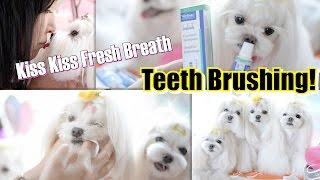 Grooming:  Teeth Brushing ~ How We Brush Our Dogs Teeth ~ Maltese Dog Grooming At Home