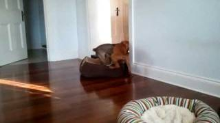 Border Terrier And Hungarian Vizsla Puppies