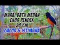 Murai Batu Medan Ekor Pendek  Cm Gacor  Mp3 - Mp4 Download