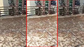 More swarms of locusts attack several residential localities of Jaipur