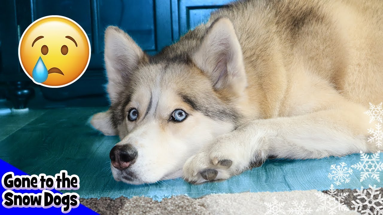 Shelby the Husky has Another Lump on Her Paw