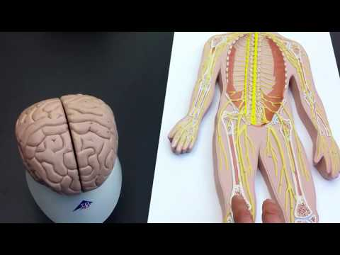 Peripheral Nervous System (PNS) lab models