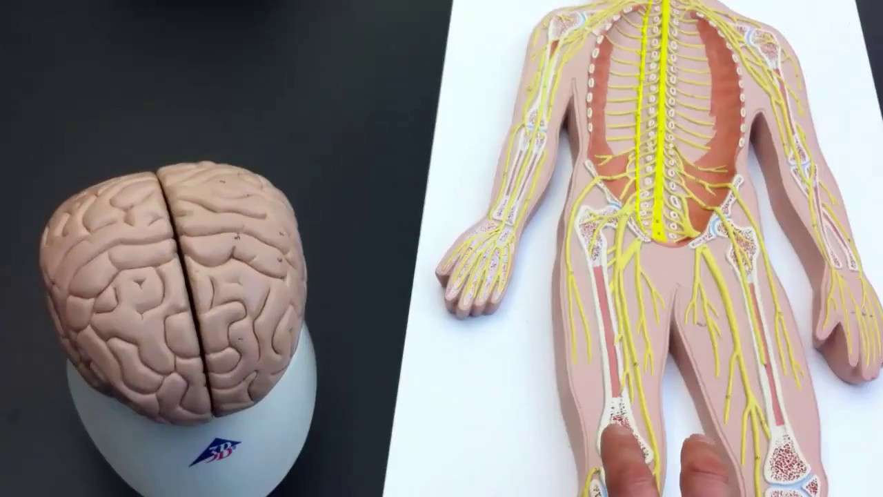 Peripheral Nervous System (PNS) lab models - YouTube