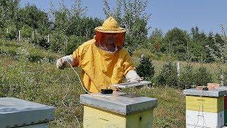 Pčelinji otrov skuplji od zlata - kako ga uzeti? 4K