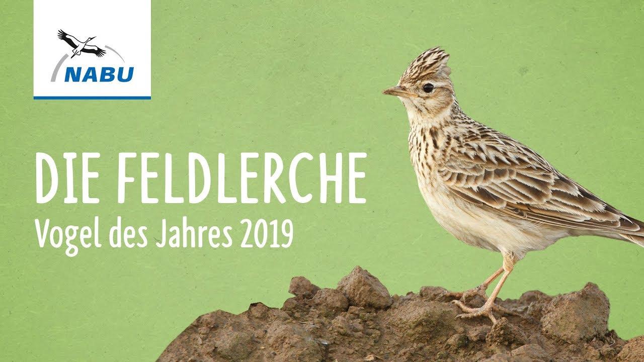Feldlerche Vogel Des Jahres