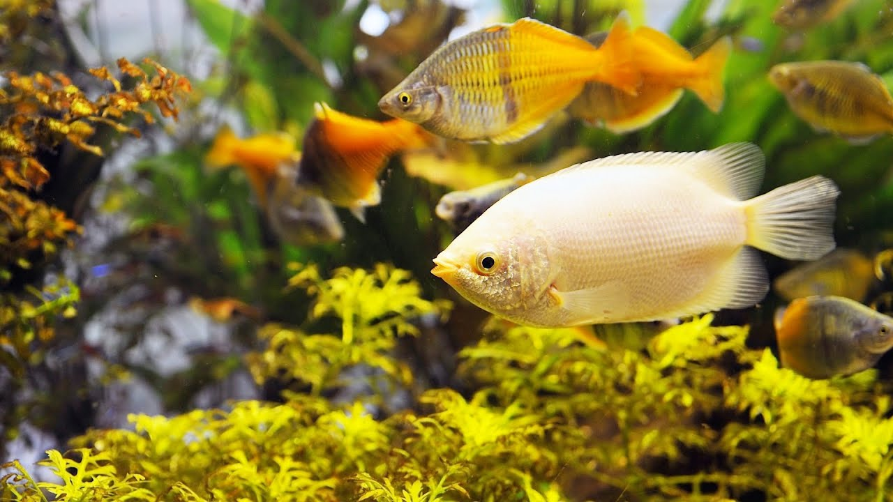 Freshwater fish tank yellow water -