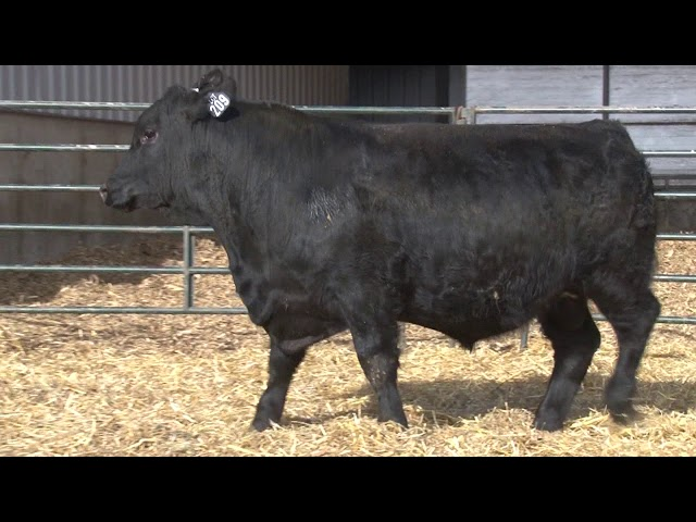 Schiefelbein Angus Farms Lot 209