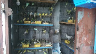 Wonderful colour budgies sales in theni