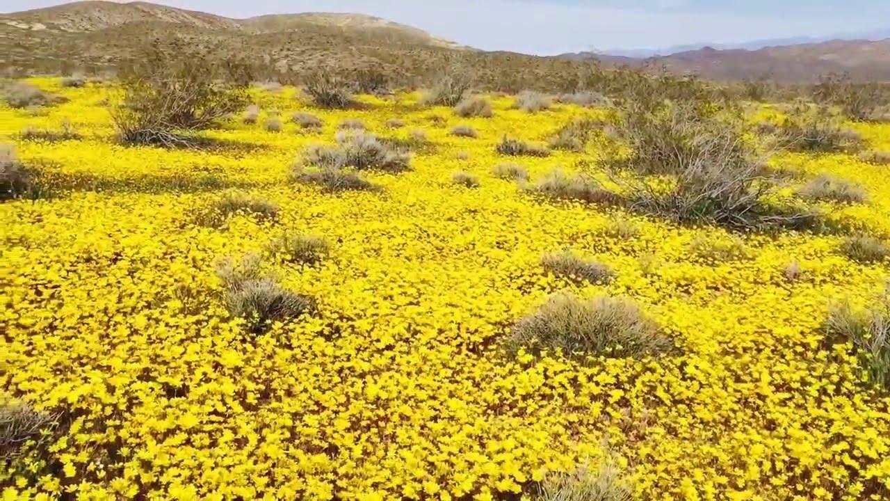 Death Valley Wildflowers Super Bloom El Nio 2016 Youtube