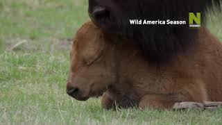 Америка: Сезони в дивата природа по Viasat Nature