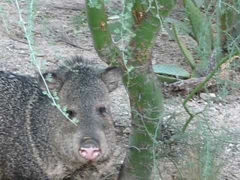 Javelina (Collared Peccary) Tucson Arizona USA