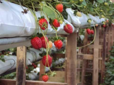 Trip To Strawberry Farm Youtube