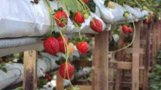 Trip To Strawberry Farm