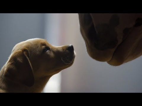 Budweiser Clydesdale Puppy Love Super Bowl 2014 Commercial