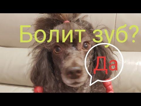 Болит зуб у собаки симптомы