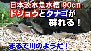 超希少【ゼニタナゴ】と【ホトケドジョウ】導入!『日本淡水魚水槽90cm』