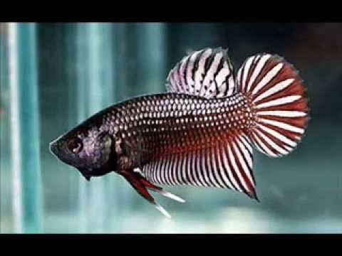 Betta Fish Pictures Youtube