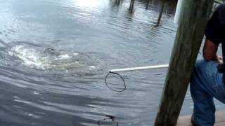 Florida Gator Control catches gator in Cape Coral, FL