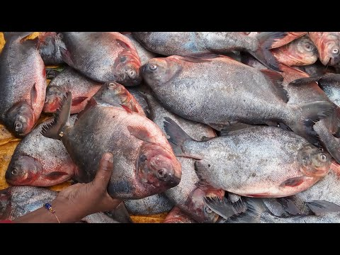 Big Fat Pomfret Fish Cutting | penangkapan ikan | Fisherman Cleaning & Cutting Hunting Fish