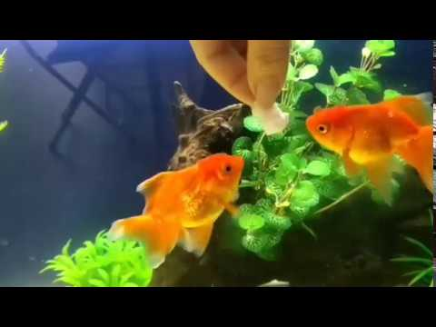 Goldfish Eating Bread