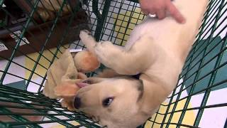 Lab Puppy Rusty Makes New Friends At Pet Supplies Plus