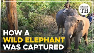 How a wild elephant was captured after 10-day hunt