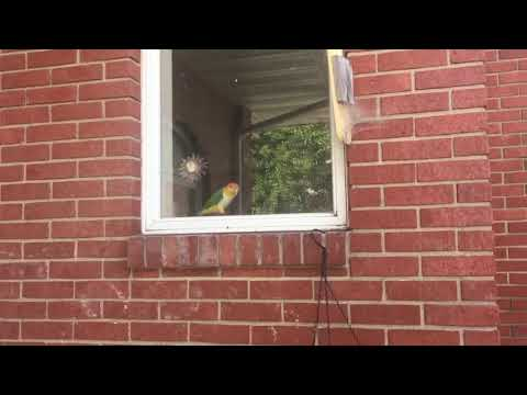 White Bellied Caique in window hopping and tapping