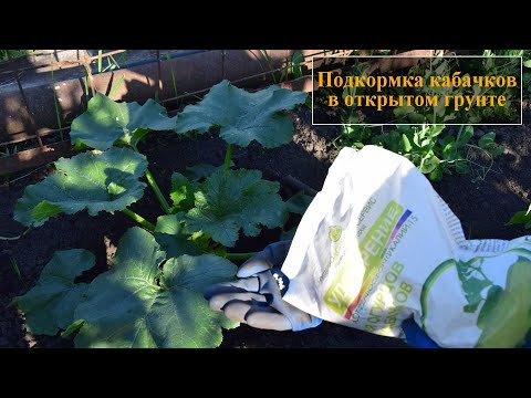 Подкормка кабачков в открытом грунте | подкормить | подкормка | открытом | кабачков | кабачки | высадки | грунте | после | грунт | чем