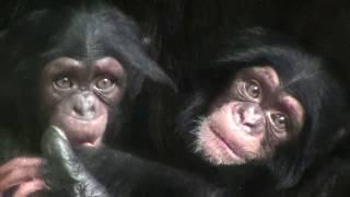 Download Video 東山チンパンジー 双子の赤ちゃん 34  Chimpanzee twin baby MP3 3GP MP4