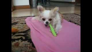 Puppy brushes her own teeth.