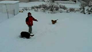 Puppy Jumping through snow over her head in Great Falls, Montana