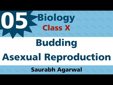 Budding A Type of Asexual Reproduction Class X Biology