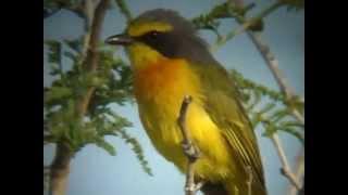 Sulphur-Breasted Bush Shrike