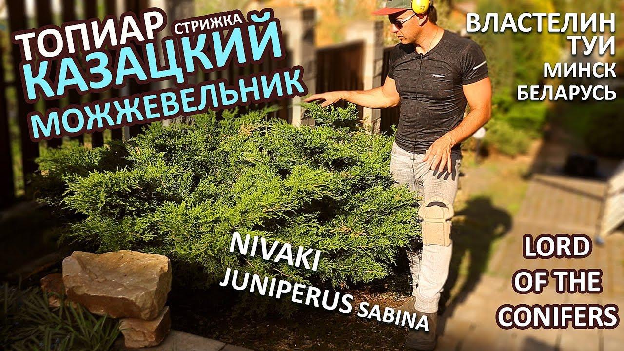 КАЗАЦКИЙ МОЖЖЕВЕЛЬНИК СТРИЖКА НИВАКИ \ JUNIPERUS SABINA/Властелин туи/СтрижкаТуиМинск