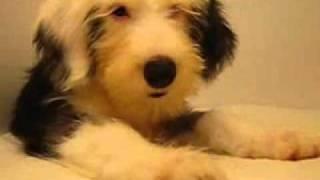 オールドイングリッシュシープドッグの子犬! 子犬のお部屋(ブリーダー)生...