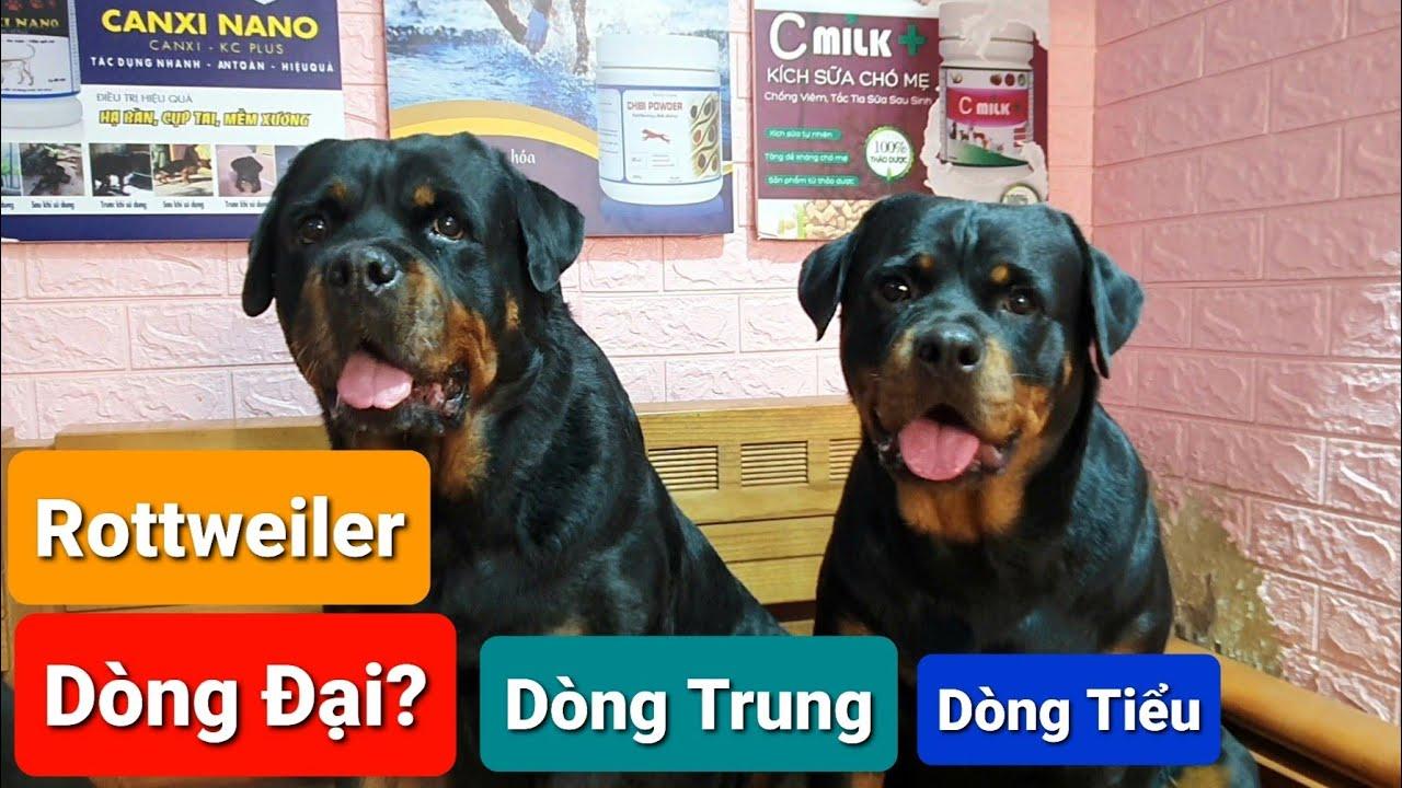 Chó Rottweiler dòng Đại- Trung- Tiểu [Full] | Thông Tin về chó rottweiler dòng trung