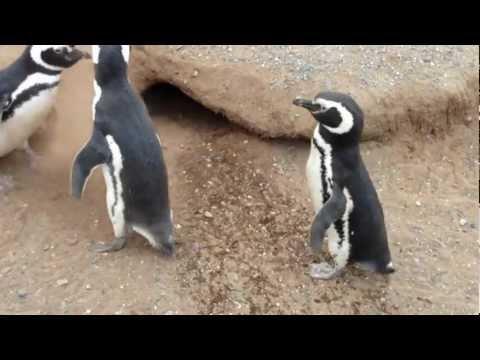 Magellanic  Penguins on Isla Magdalena, Chile, December 2012