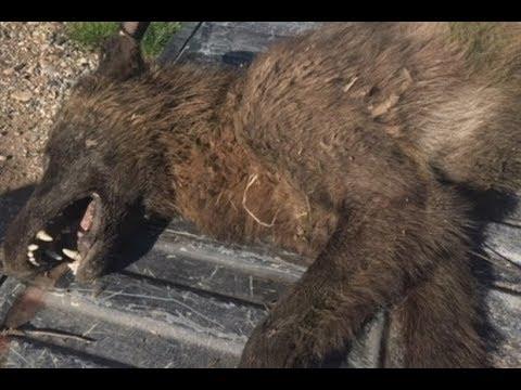 Huge Wolf-Like Monster Discovered – DNA Testing Ordered