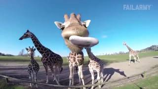 Funny Animal Fails Just In Time For Election 2016  Fail Army clip