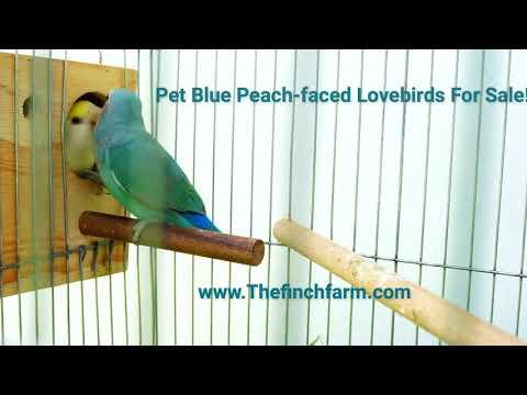 Peach Faced Lovebirds for sale   www Thefinchfarm com